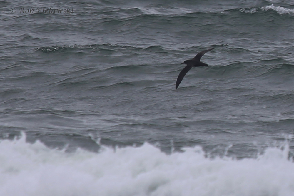 Sooty Shearwater / 22 May 2016 / Back Bay NWR