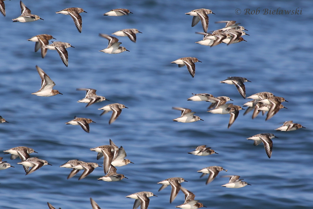 Sanderlings / 24 May 2016 / Back Bay NWR