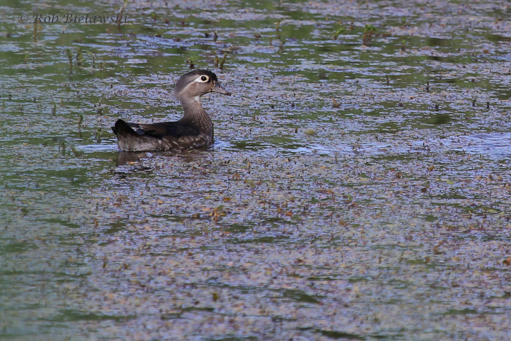 Wood Duck / 25 May 2016 / Princess Anne WMA