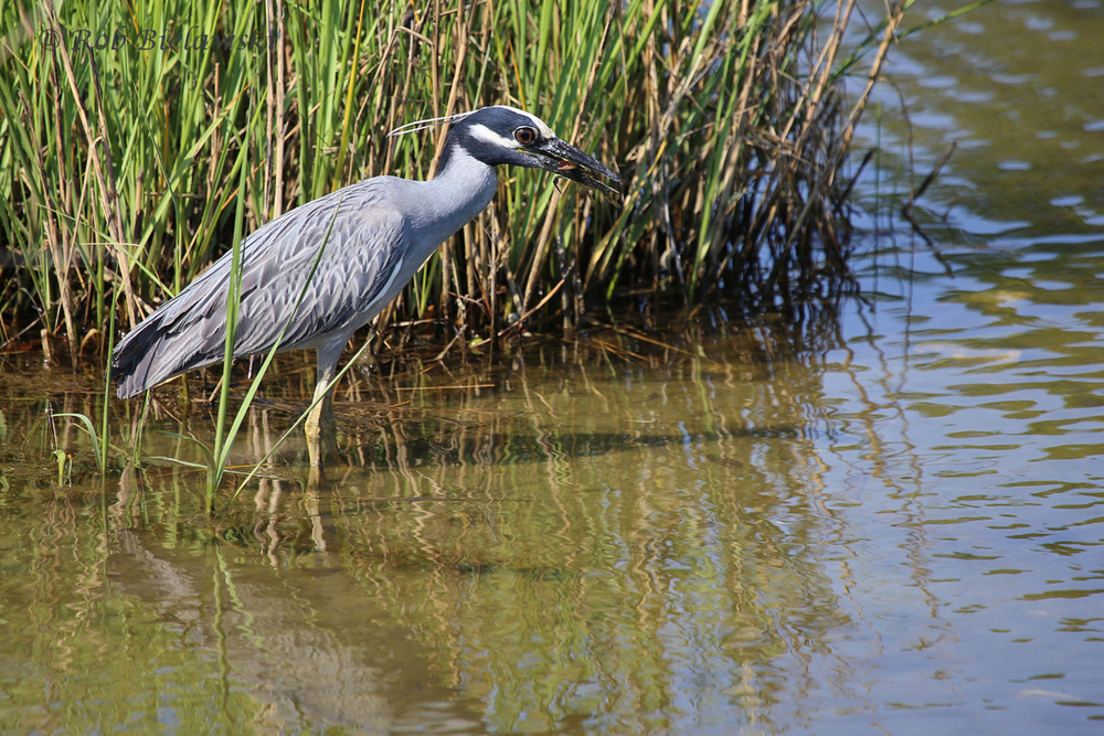 Yellow-crowned Night-Heron / 27 May 2016 / Pleasure House Point NA