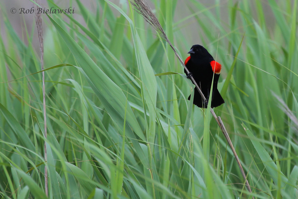 Red-winged Blackbird / 4 Jun 2016 / Back Bay NWR