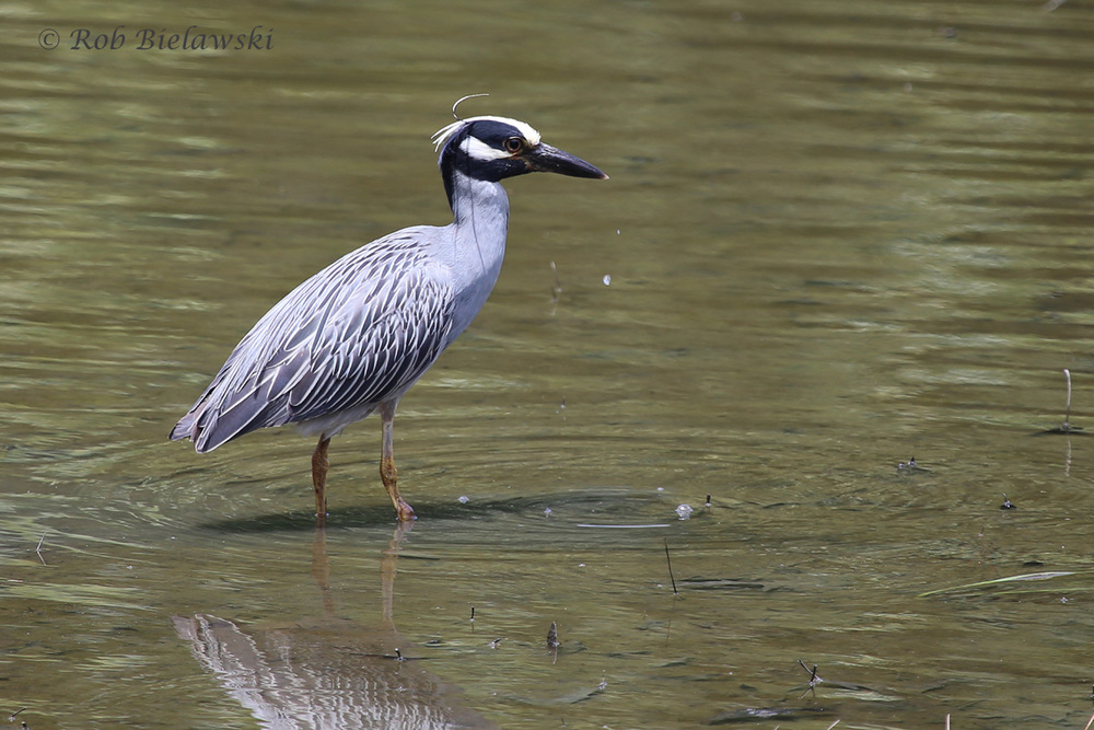 Yellow-crowned Night-Heron / 4 Jun 2016 / Kings Grant Lakes