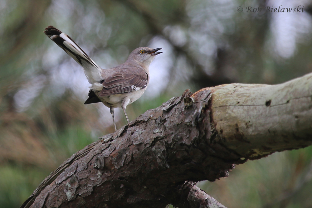 Northern Mockingbird / 6 Jun 2016 / Pleasure House Point NA