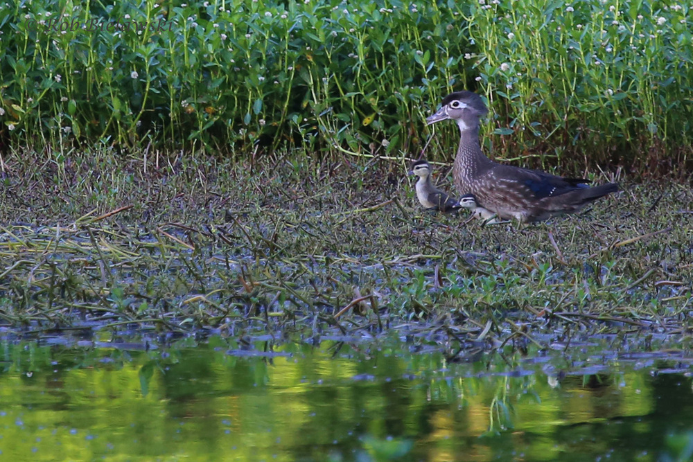 Wood Ducks / 6 Jun 2016 / Kings Grant Lakes