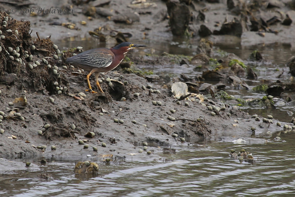 Green Heron / 6 Jun 2016 / Pleasure House Point NA