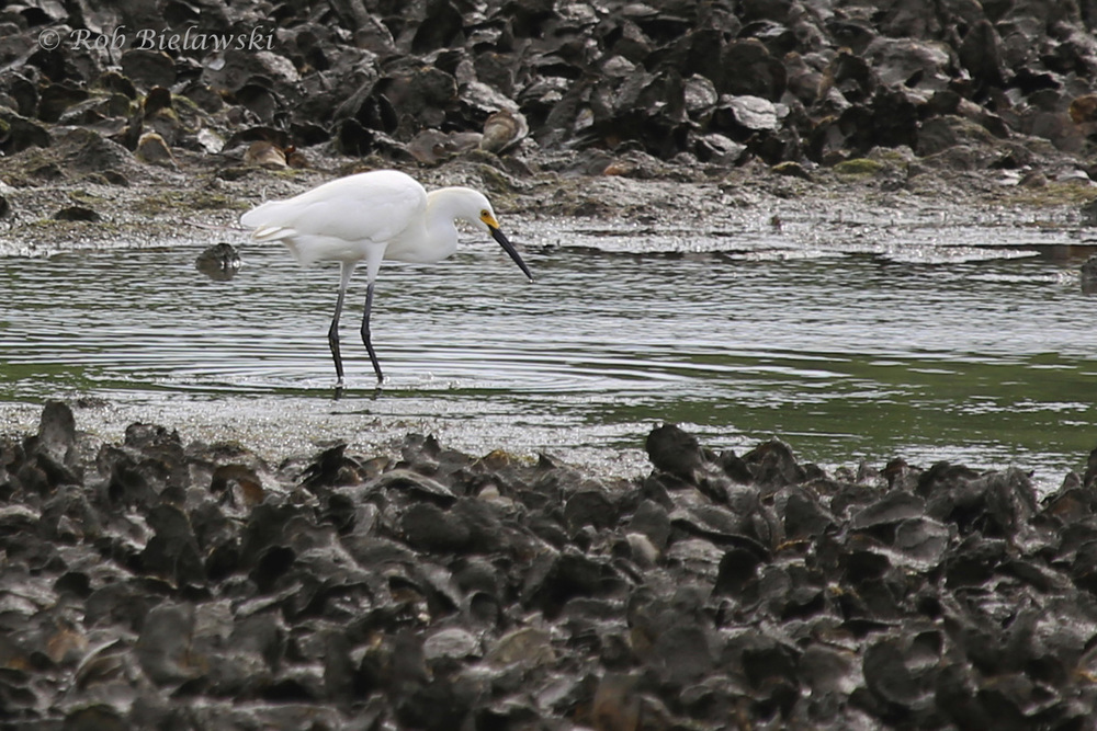 Snowy Egret / 6 Jun 2016 / Pleasure House Point NA
