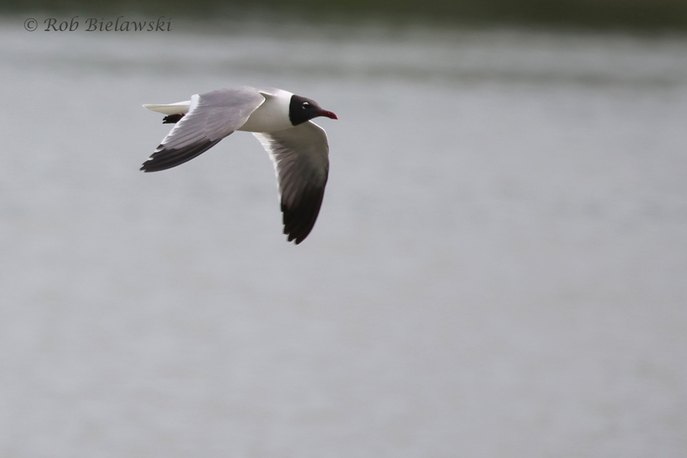 Laughing Gull / 6 Jun 2016 / Pleasure House Point NA