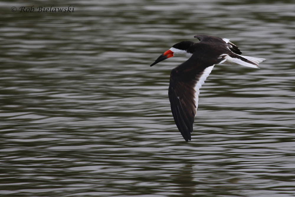 Black Skimmer / 6 Jun 2016 / Pleasure House Point NA