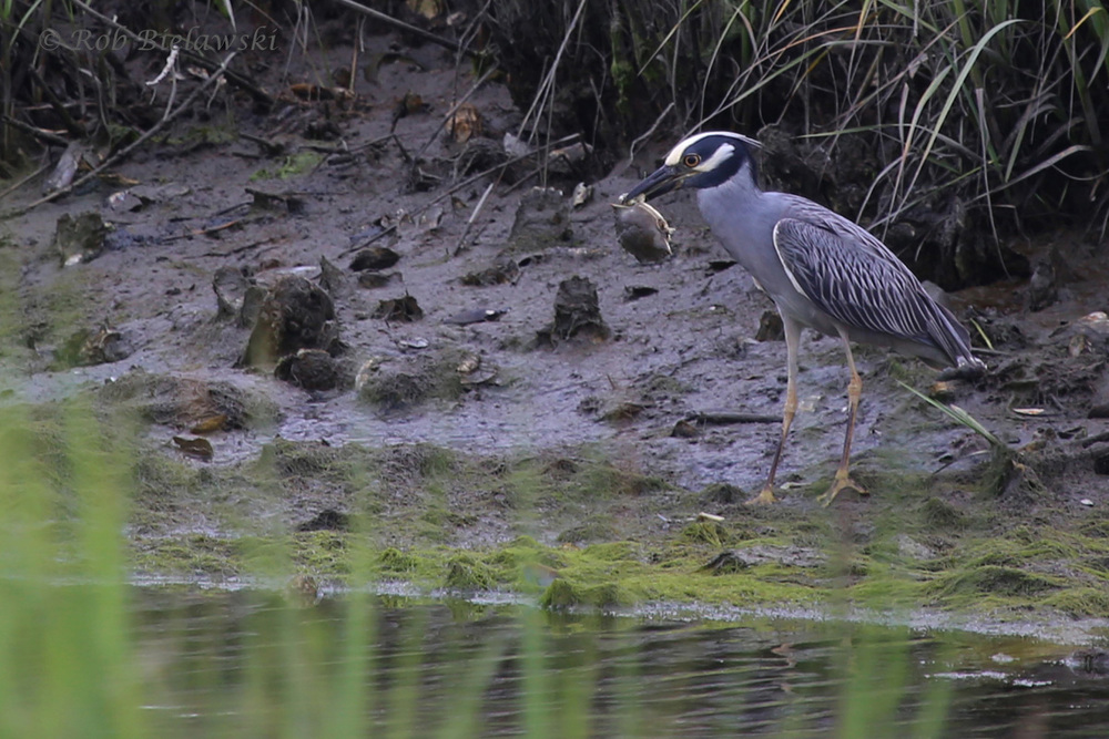 Yellow-crowned Night-Heron / 6 Jun 2016 / Pleasure House Point NA
