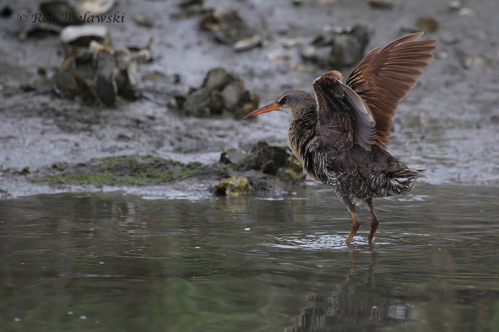 Clapper Rail / 6 Jun 2016 / Pleasure House Point NA