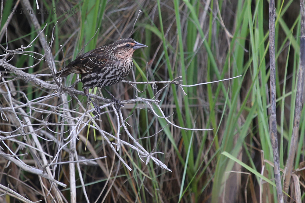 Red-winged Blackbird / 6 Jun 2016 / Pleasure House Point NA
