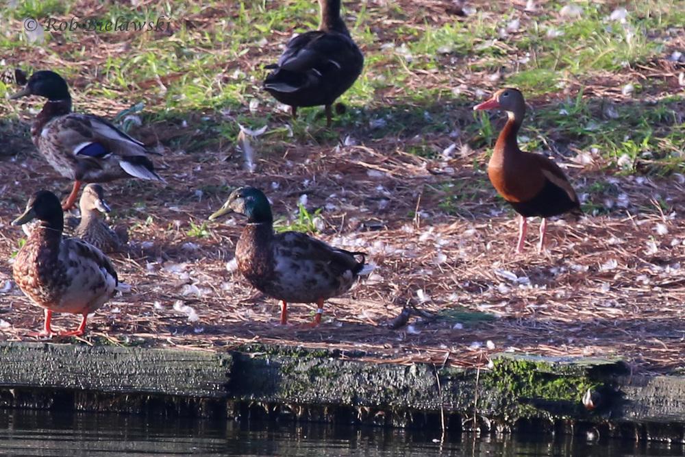 Black-bellied Whistling-Duck & Mallards / 26 Jun 2016 / Lake Joyce
