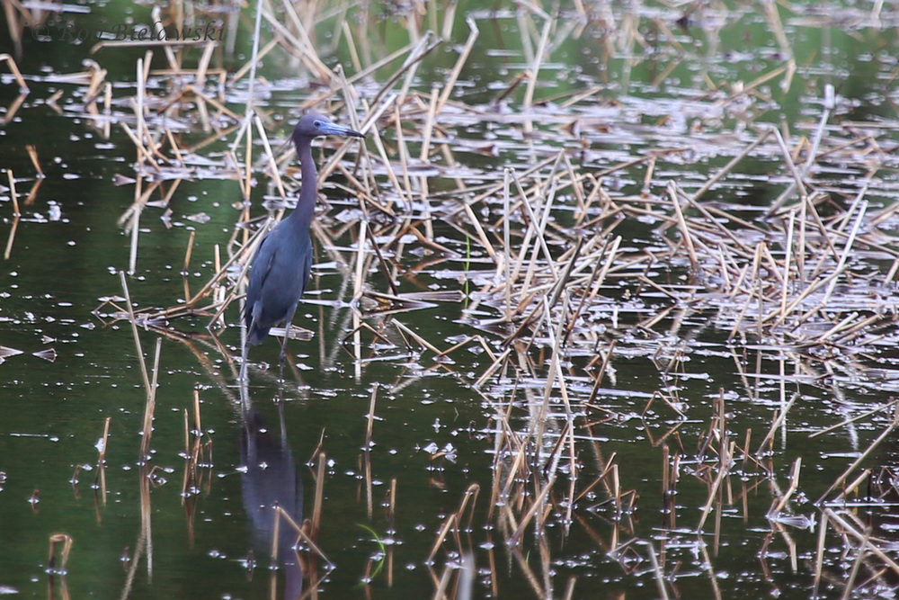 Little Blue Heron / 4 Jul 2016 / Princess Anne WMA WT