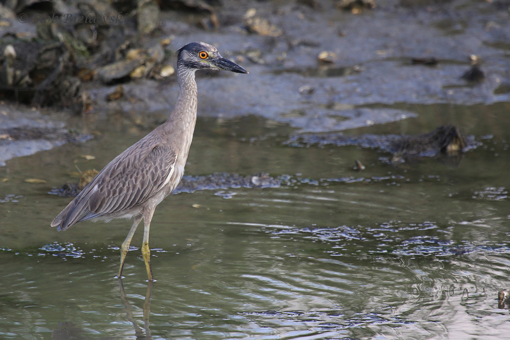 Yellow-crowned Night-Heron / 6 Jul 2016 / Pleasure House Point NA