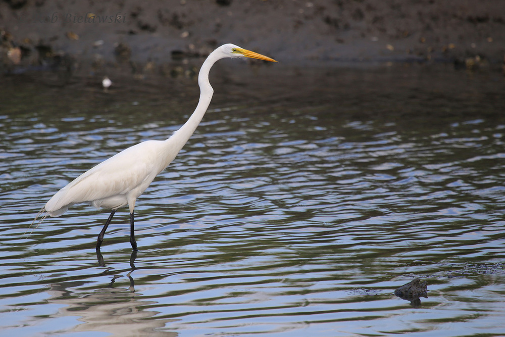 Great Egret / 6 Jul 2016 / Pleasure House Point NA