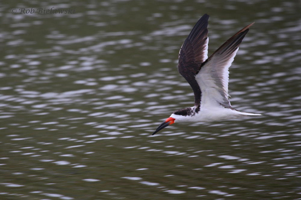 Black Skimmer / 6 Jul 2016 / Pleasure House Point NA