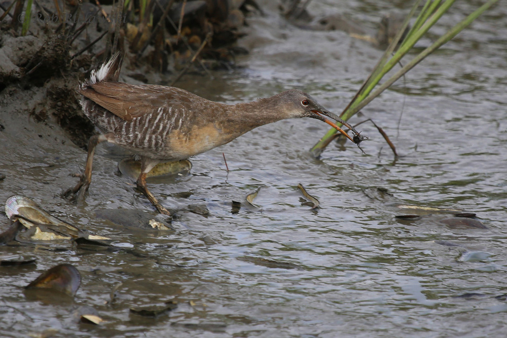Clapper Rail / 9 Jul 2016 / Pleasure House Point NA
