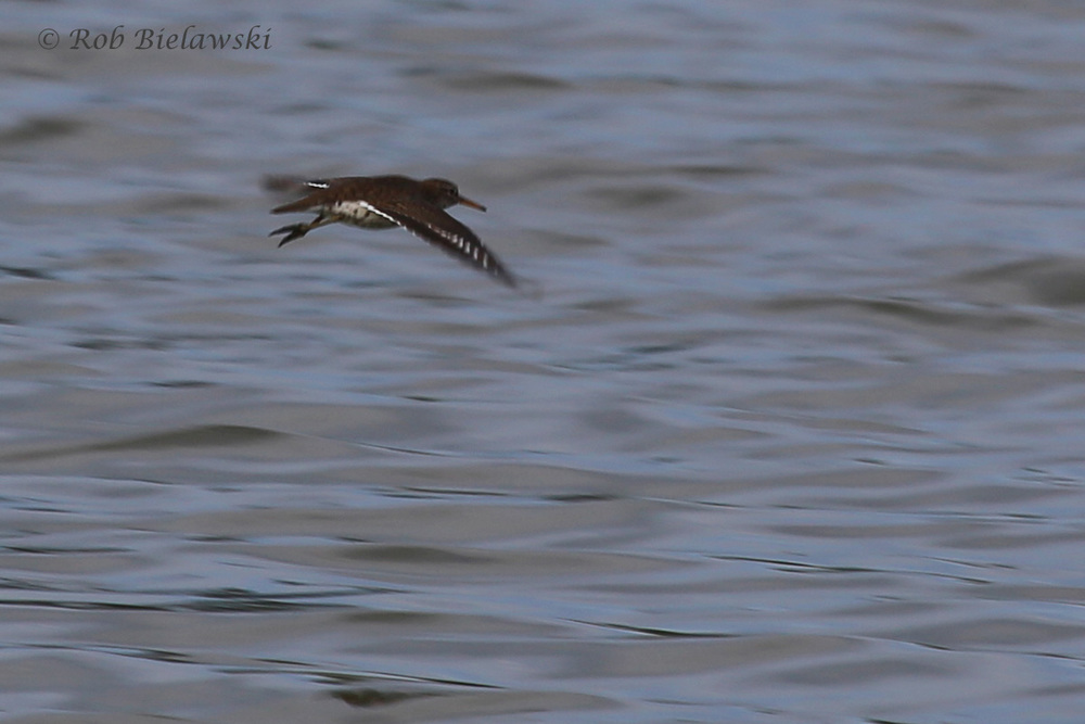 Spotted Sandpiper / 9 Jul 2016 / Pleasure House Point NA