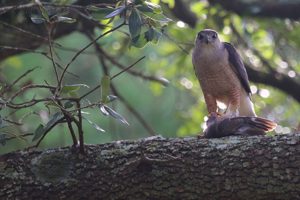 Cooper's Hawk / 9 Jul 2016 / Pleasure House Point NA