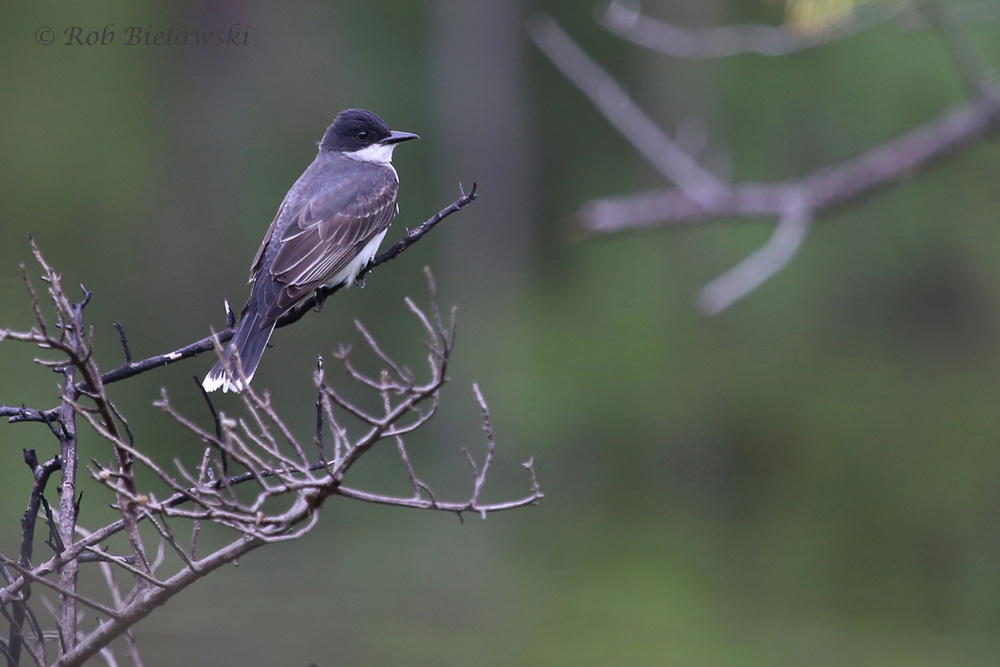Eastern Kingbird / 9 Jul 2016 / Pleasure House Point NA