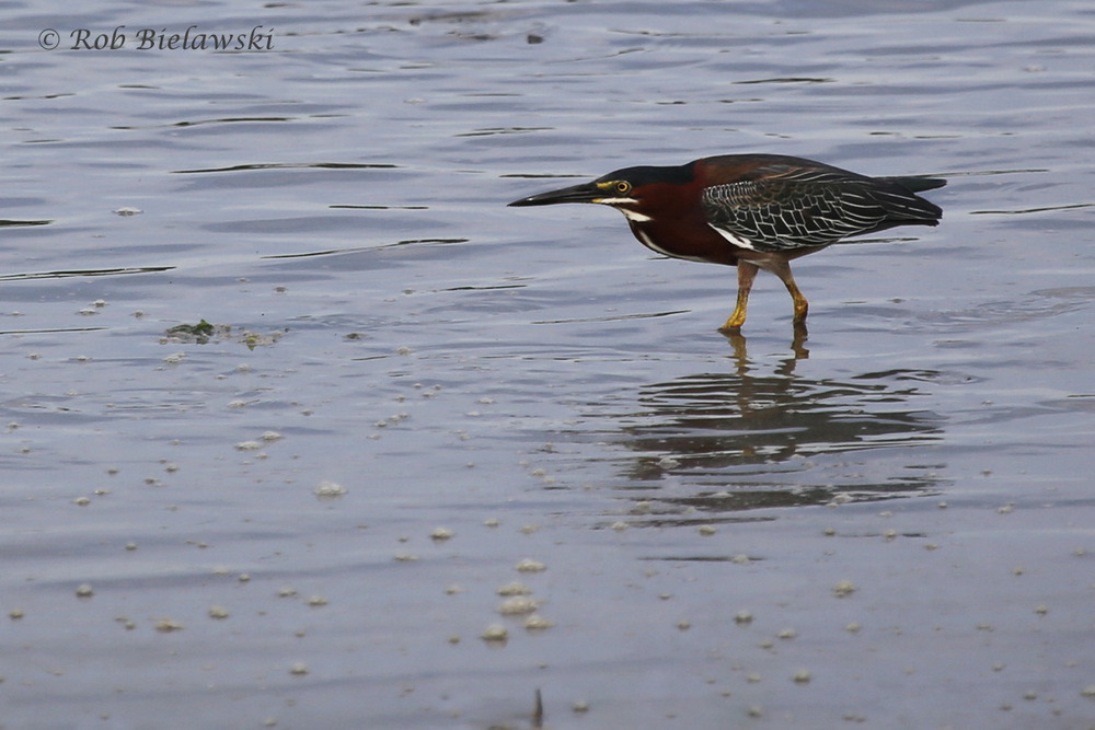 Green Heron / 9 Jul 2016 / Pleasure House Point NA