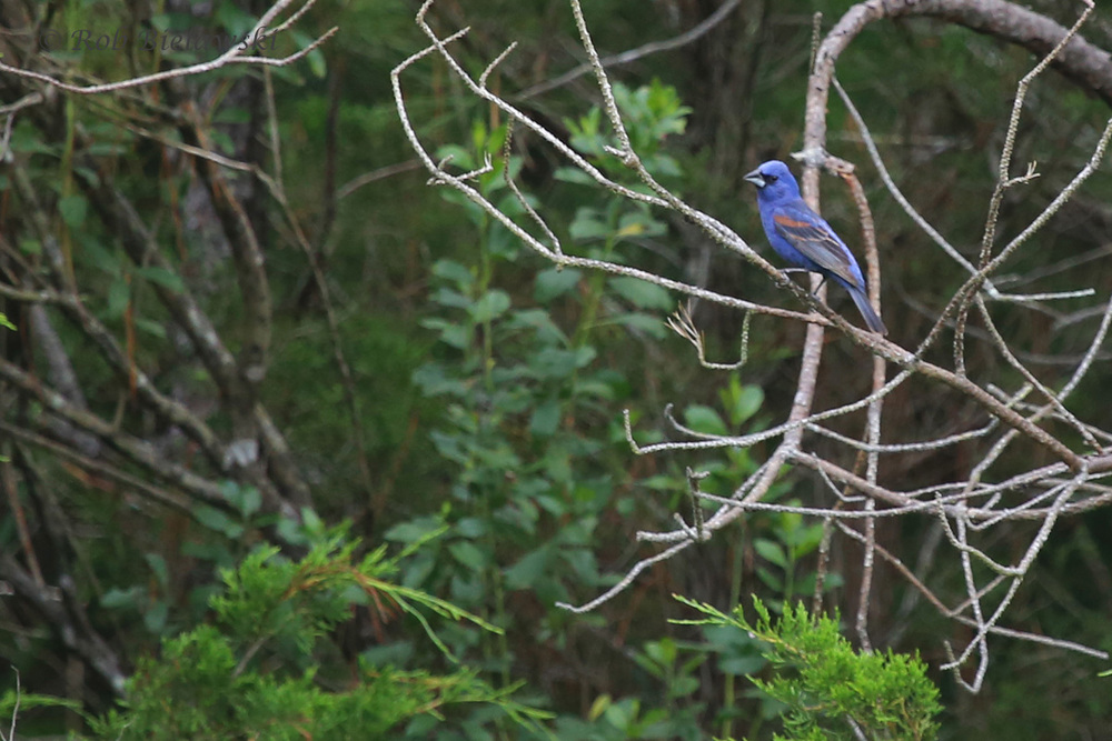 Blue Grosbeak / 9 Jul 2016 / Pleasure House Point NA