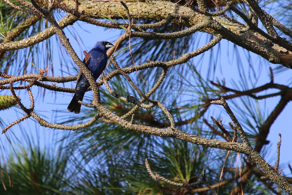 Blue Grosbeak / 10 Jul 2016 / Back Bay NWR
