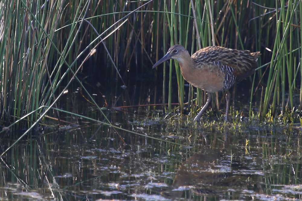 King Rail / 10 Jul 2016 / Back Bay NWR