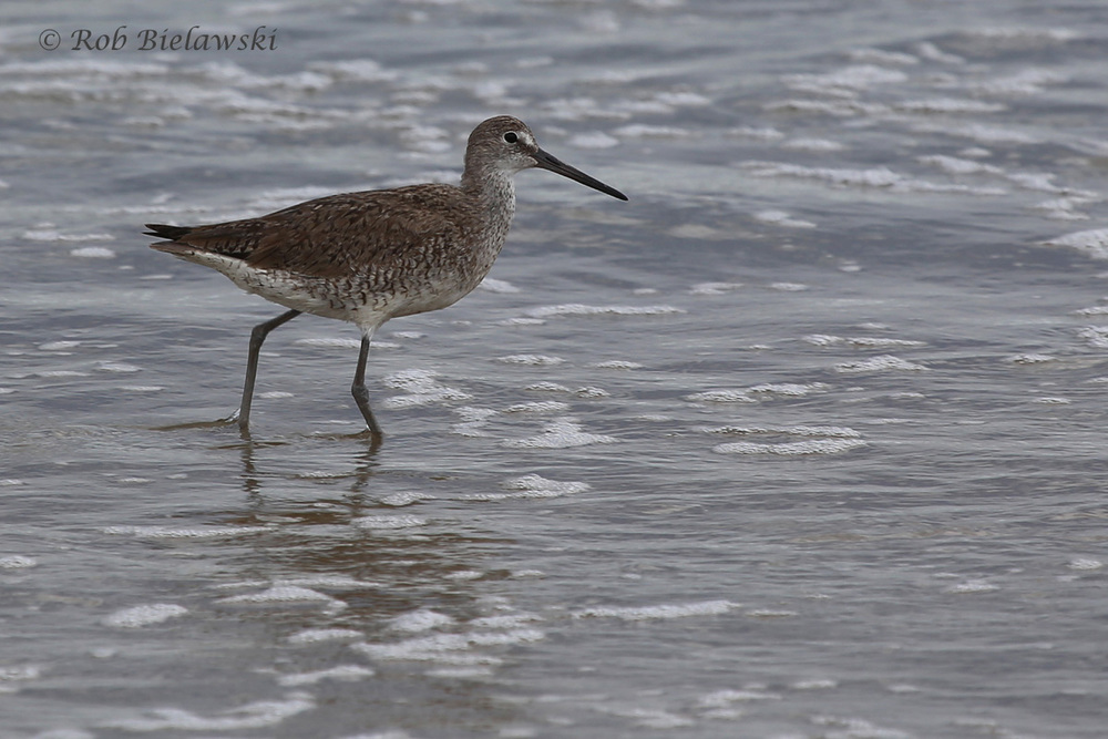 Willet / 16 Jul 2016 / Back Bay NWR