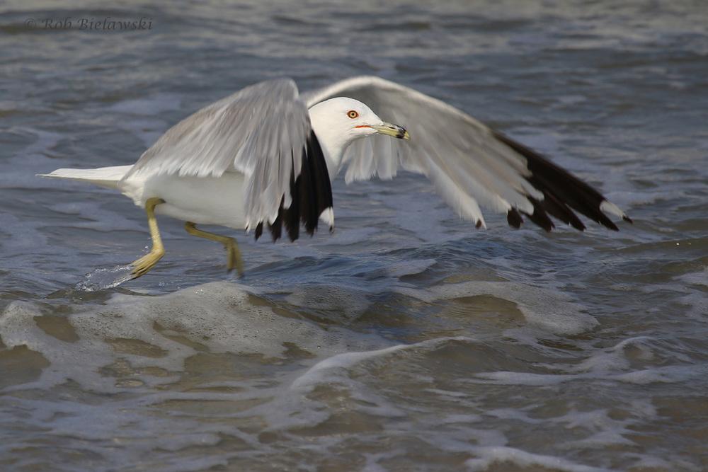 Ring-billed Gull / 22 Jul 2016 / Back Bay NWR
