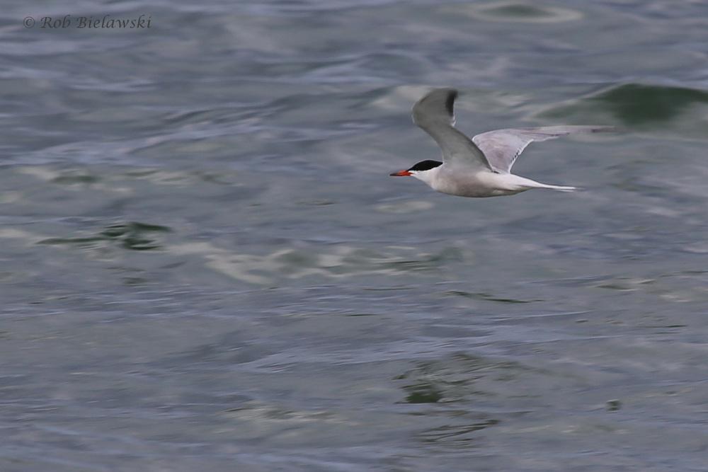 Common Tern / 29 Jul 2016 / Back Bay NWR