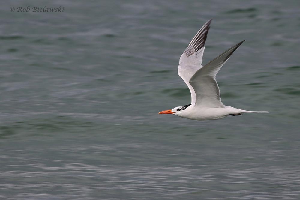 Royal Tern / 29 Jul 2016 / Back Bay NWR