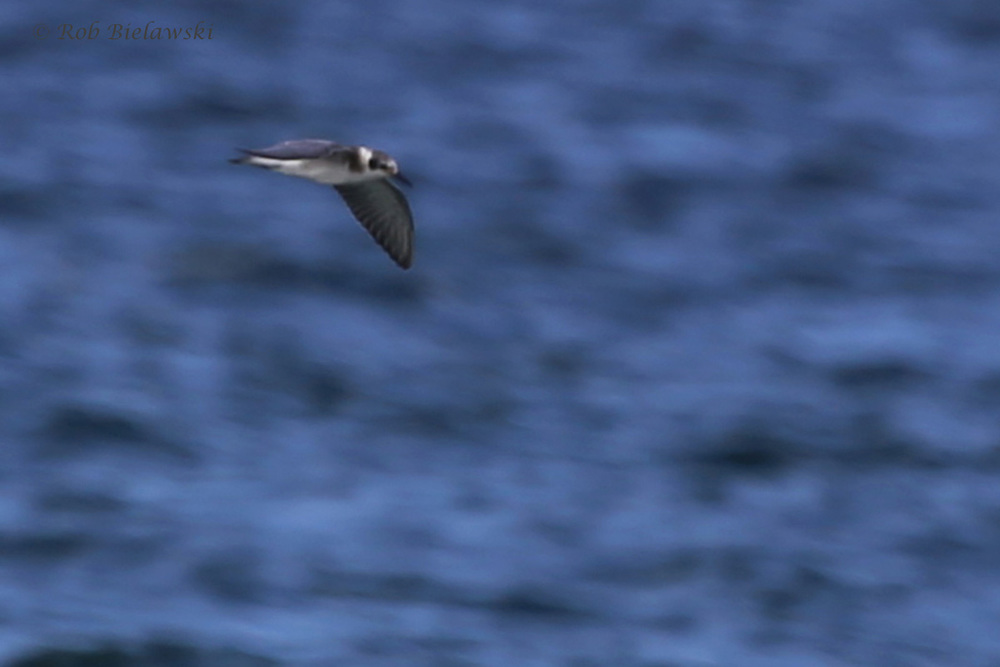 Black Tern / 29 Jul 2016 / Back Bay NWR