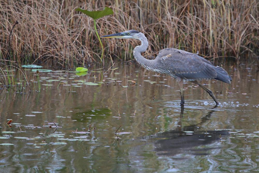 Great Blue Heron / 31 Jul 2016 / Back Bay NWR