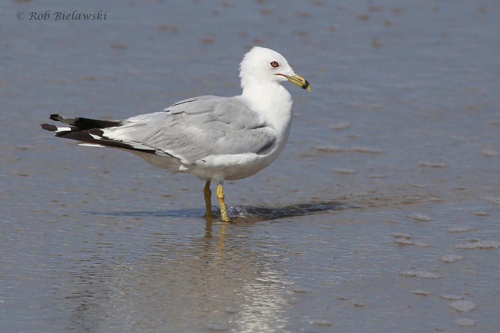 Ring-billed Gull / 5 Aug 2016 / Back Bay NWR