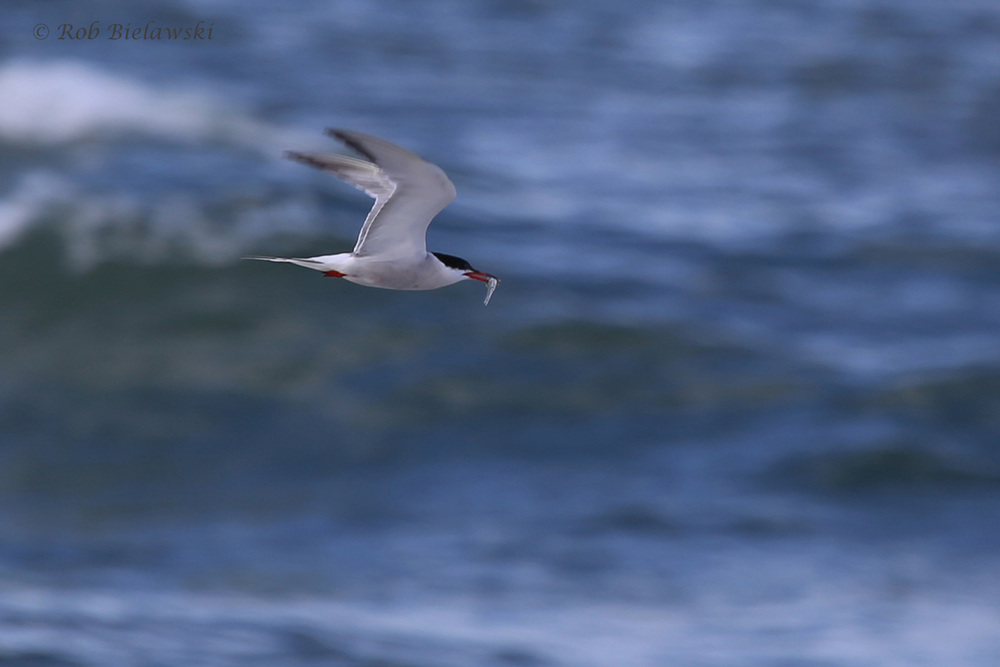 Common Tern / 5 Aug 2016 / Back Bay NWR