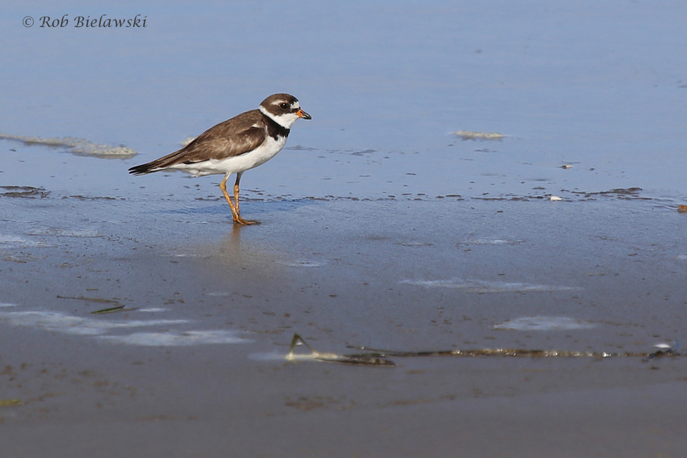 Semipalmated Plover / 5 Aug 2016 / Back Bay NWR