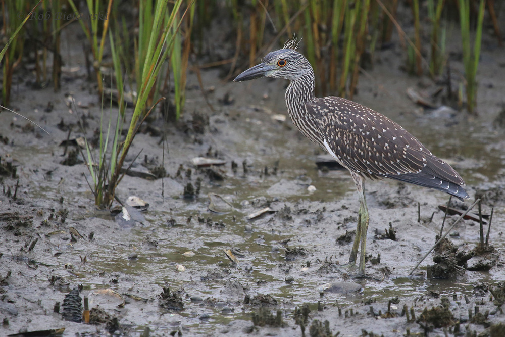 Yellow-crowned Night-Heron / 6 Aug 2016 / Pleasure House Point NA