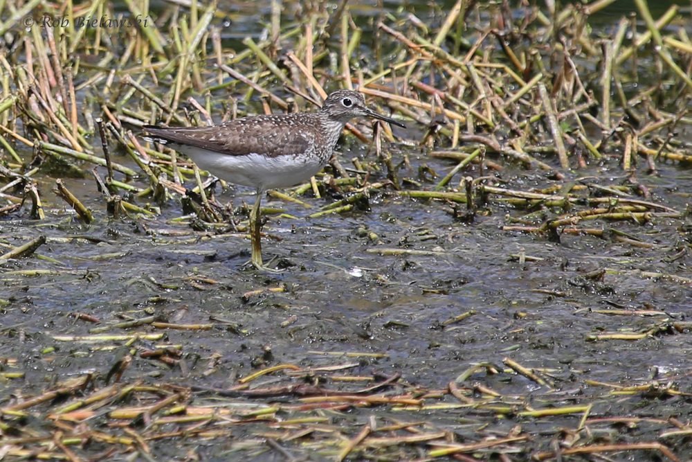Solitary Sandpiper / 9 Aug 2016 / Bayville Farms Park