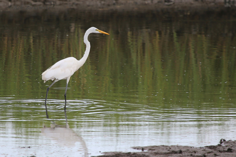Great Egret / 17 Aug 2016 / Pleasure House Point NA