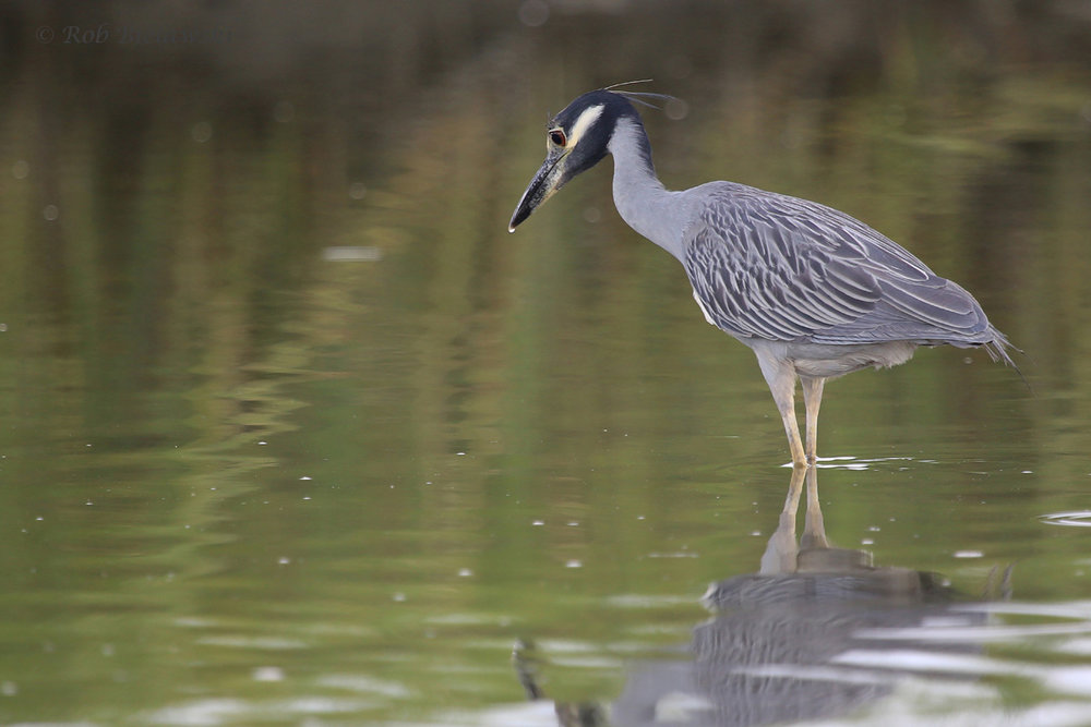 Yellow-crowned Night-Heron / 17 Aug 2016 / Pleasure House Point NA