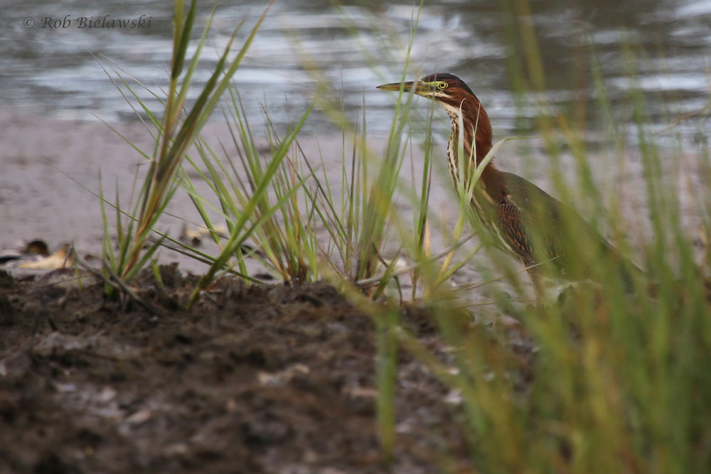 Green Heron / 17 Aug 2016 / Pleasure House Point NA