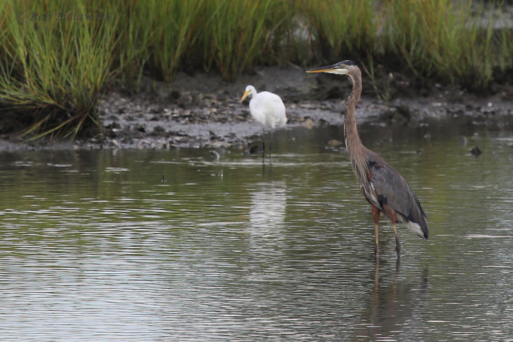 Great Egret & Great Blue Heron / 17 Aug 2016 / Pleasure House Point NA