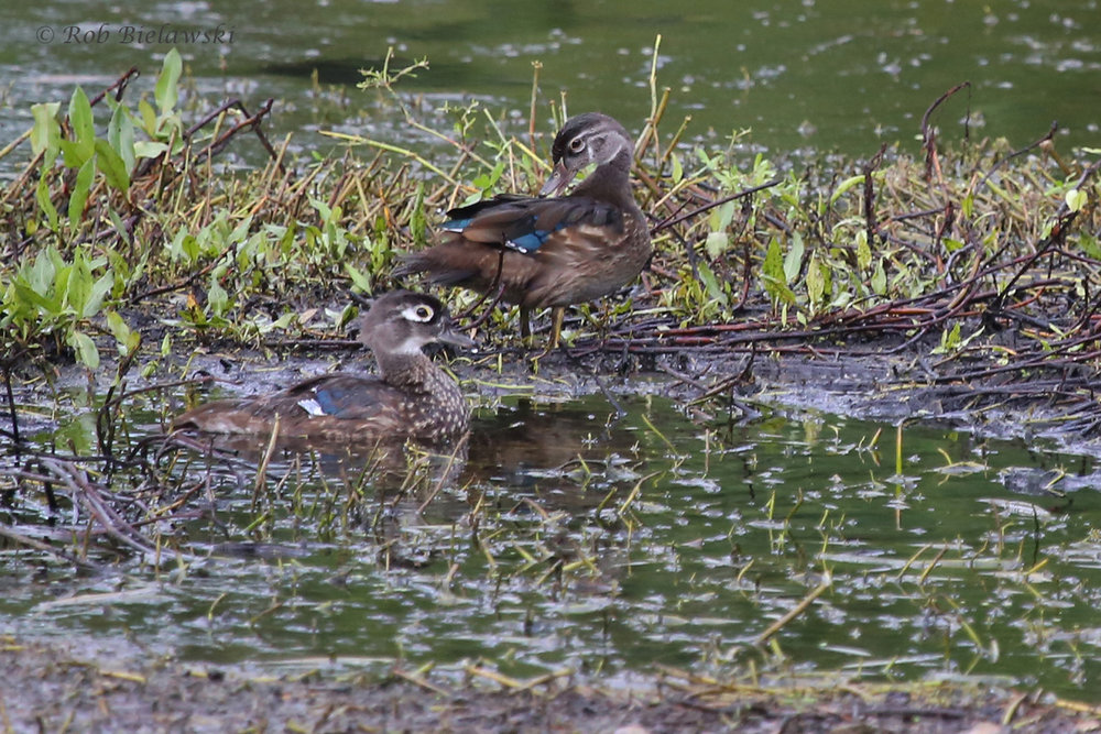 Wood Ducks / 17 Aug 2016 / Bayville Farms Park