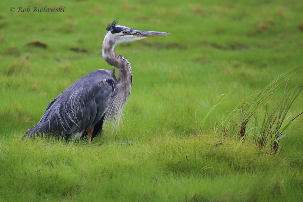 Great Blue Heron / 19 Aug 2016 / Back Bay NWR
