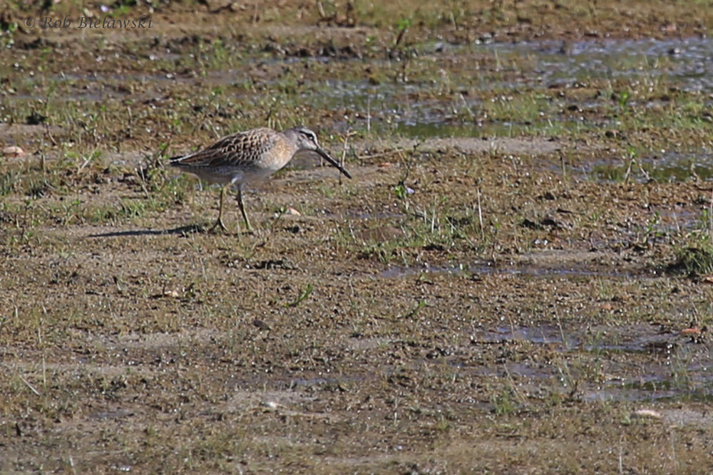 Short-billed Dowitcher / 20 Aug 2016 / Back Bay NWR