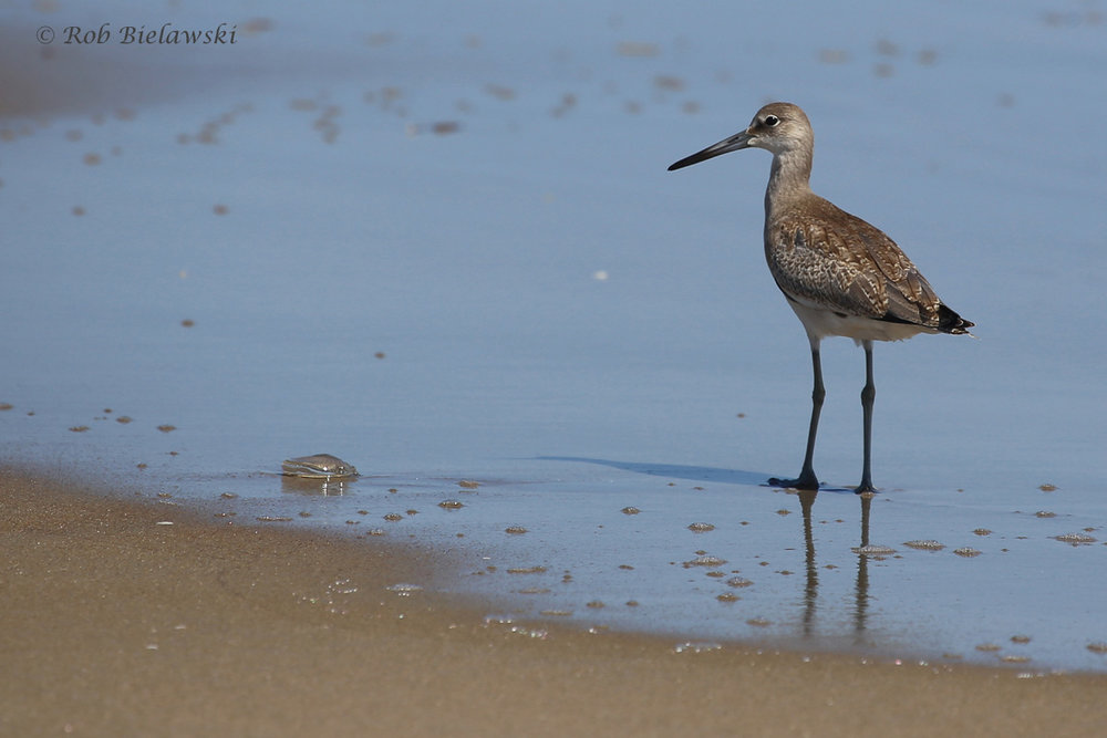 Willet / 20 Aug 2016 / Back Bay NWR