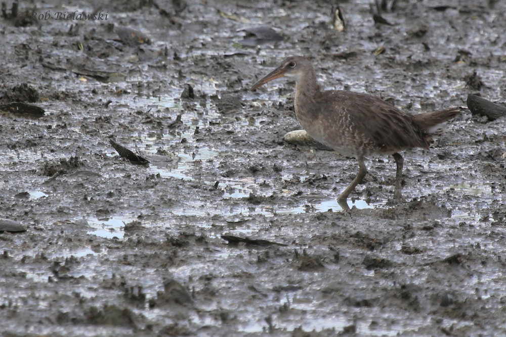 Clapper Rail / 17 Aug 2016 / Pleasure House Point NA