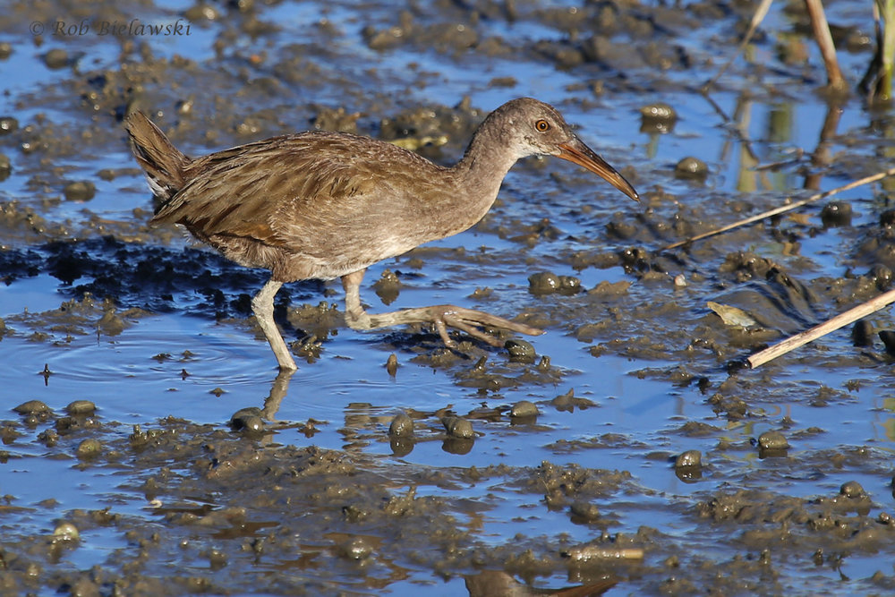 Clapper Rail / 23 Aug 2016 / Pleasure House Point NA