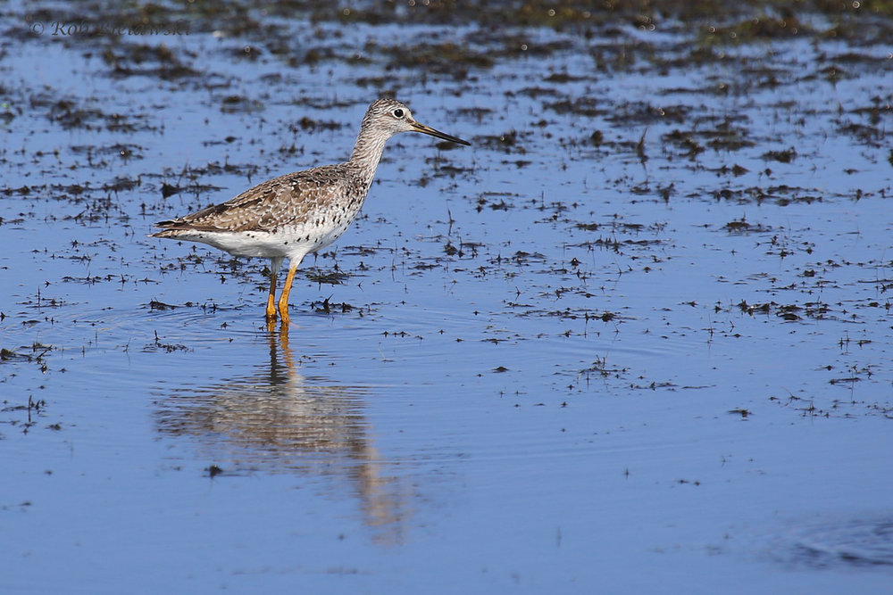 Greater Yellowlegs / 26 Aug / Back Bay NWR